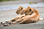 Lioness (Panthera leo) Photographed in Tanzania