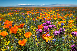 Antelope Valley Superbloom, California Poppy Reserve. The purple flower is Owl's Clover, and of course the orange one is the California Poppy.