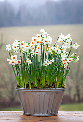 Narcissus 'Cragford' in a zinc container