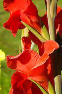 Orange gladiolus blossoms in a garden