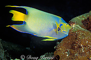 """queen angelfish, Holacanthus ciliaris, feeding on <br /> """" touch-me-not """" sponge, Neofibularia nolitangere,<br /> Cayman Island ( Caribbean )"""