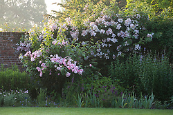 Rose growing against a wall at Sissinghurst Castle Garden at dawn