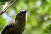 """Korimako or Bellbird, on Tiritiri Matangi wildlife sanctuary in the Haruki Gulf. ..The bellbird forms part of the  New Zealand dawn chorus of bird song  that was noted by early European settlers. It declined after human settlement across New Zealand, but inexplicably bounced back and is now listed as """"least concern""""."""