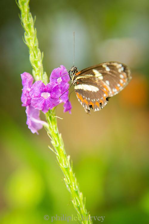 Heliconius ismenius Butterfly (captive) , Mashpi Reserve, Ecuador, South America