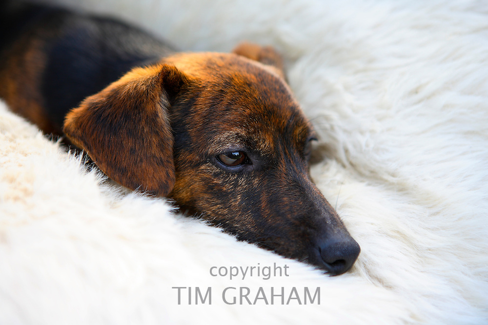 Black and tan Jack Russell terrier pedigree puppy lying in his bed, England, United Kingdom