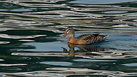 Mallard (Anas platyrhynchos). Viewed from the deck of the Lady of the Lake Ferry. Lake Chelan, Washington. Image taken with a Nikon D200 camera and 80-400 mm  lens.