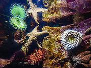 Sea anemones and other sealife at Oregon Coast Aquarium, Newport, Oregon, USA.