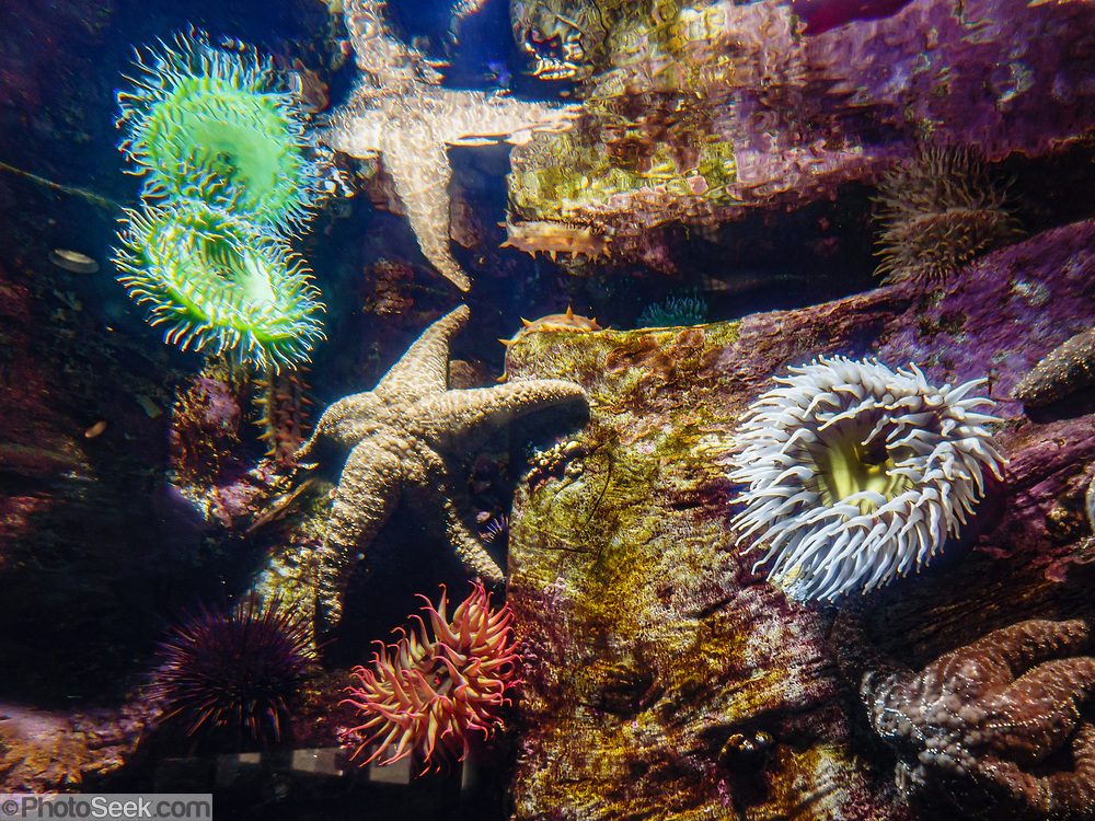 Sea anemones and other sealife at Oregon Coast Aquarium, Newport, Oregon, USA.