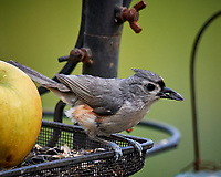 Tufted Titmouse. Image taken with a Nikon D5 camera and 600 mm f/4 VR lens (ISO 450, 600 mm, f/5.6, 1/1250 sec)