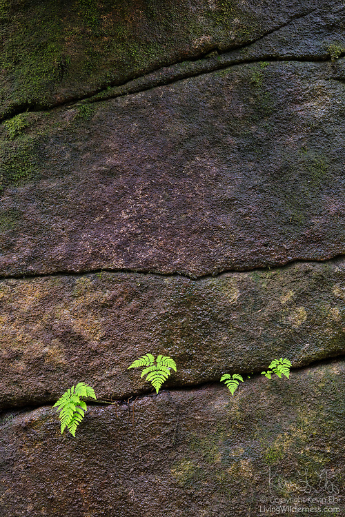 Several western brackenferns (Pteridium aquilinum) grow from a crack in a steep rock face in the Alpine Lakes Wilderness near Lake Dorothy, Washington.