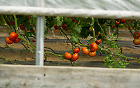 Surowiec Farm - Apple Picking.  (Karen Bobotas/for the Laconia Daily Sun)