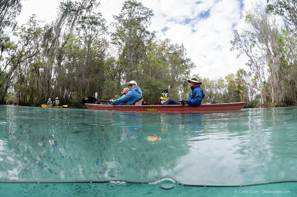A family with dog in one of the kayaks explores the natural freshwater springs on a cool winter day. Horizontal orientation split image. Three Sisters Springs, Crystal River National Wildlife Refuge, Kings Bay, Crystal River, Citrus County, Florida USA.