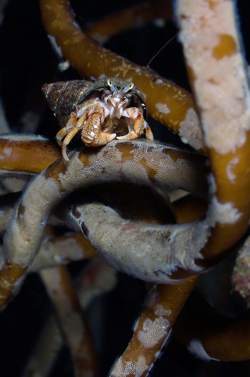 Common hermit crab, Pagurus bernharudus, Lofoten, Norway,