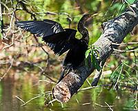 Anhinga (Anhinga anhinga). Sawgrass Lake Park. Pinellas County, Florida. Image taken with a Nikon D700 camera and 300 mm f/2.8 VR lens and 2.0x TC-E teleconverter.