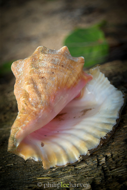 Close-up of a conch shell, Little Corn Island, Nicaragua