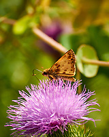 Skipper (?) Butterfly on a Thistle Flower. Image taken with a Nikon 1 V3 camera and 70-300 mm lens