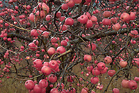 Apples on tree with raindrops near Boonville in Mendocino County, CA..CD scan from 35mm chrome.  © John Birchard
