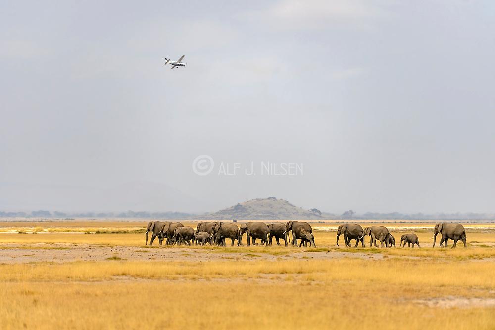 African elephants migrate in Amboseli National Park, Kenya.