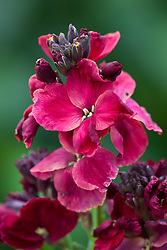 Cheiranthus cheirii 'Progress'. Wallflower