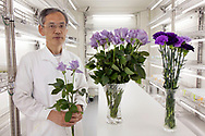 "May 21, 2018, Seika, Japan: At his research lab, Yoshikazu Tanaka, Ph.D., Senior General Manager of the Suntory World Research Center displays his latest efforts at producing blue roses. Tanaka, who for the past 28 years has been experimenting with this biotechnology at Suntory has come very close, but has not yet succeeded in producing a truly blue rose. Sought after by botanists and horticulturists since the nineteenth century, the blue rose is so elusive as roses lack genes that can produce blue pigment. To change this, Tanaka and his team isolated blue genes from petunias and introduced them into roses that produce a blue pigment called delphinidin. Achieving results in 2004, Suntory was granted government approval to begin marketing their genetically modified roses, and in 2009 began selling their first blue rose called ""Applause"". Tanaka however still feels challenged and is trying to produce a deep blue rose not only through genetics, but also with the aid of metal ions and compounds that enhance blue pigments called flavones. He is also experimenting with higher ph levels which also help to increase blue pigments. Tanaka and Suntory have also succeeded in producing blue carnations which adapt better to gene modification. In 1997 they began marking their blue ""Moonseries"" carnations and have since introduced other varieties using pansy genes. Currently these blue carnations are grown in Columbia and Ecuador and sold primarily in the USA and Europe. Due to Suntory holding early patents to this technology, they face no competition in the manufacturing of blue roses and carnations. The international floral market is a multi-billion dollar industry and if Suntory succeeds at producing a perfectly blue rose the market potential would be astounding. Photo by Torin Boyd."