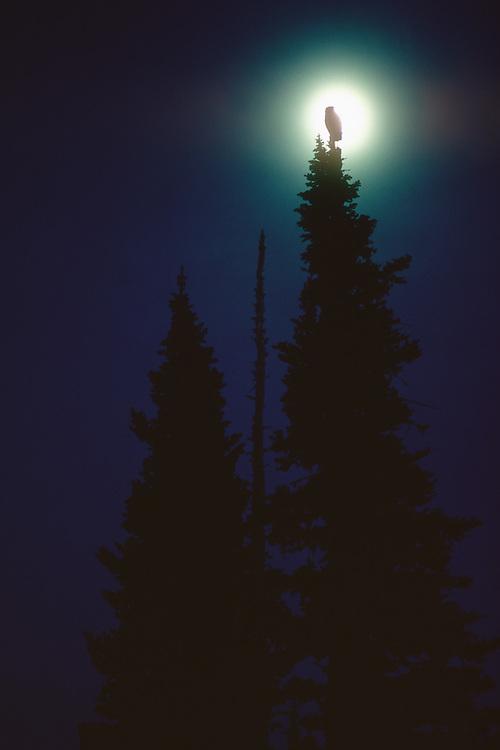 Owl and moon, Paradise Meadow, Mount Rainier National Park, Washington, USA
