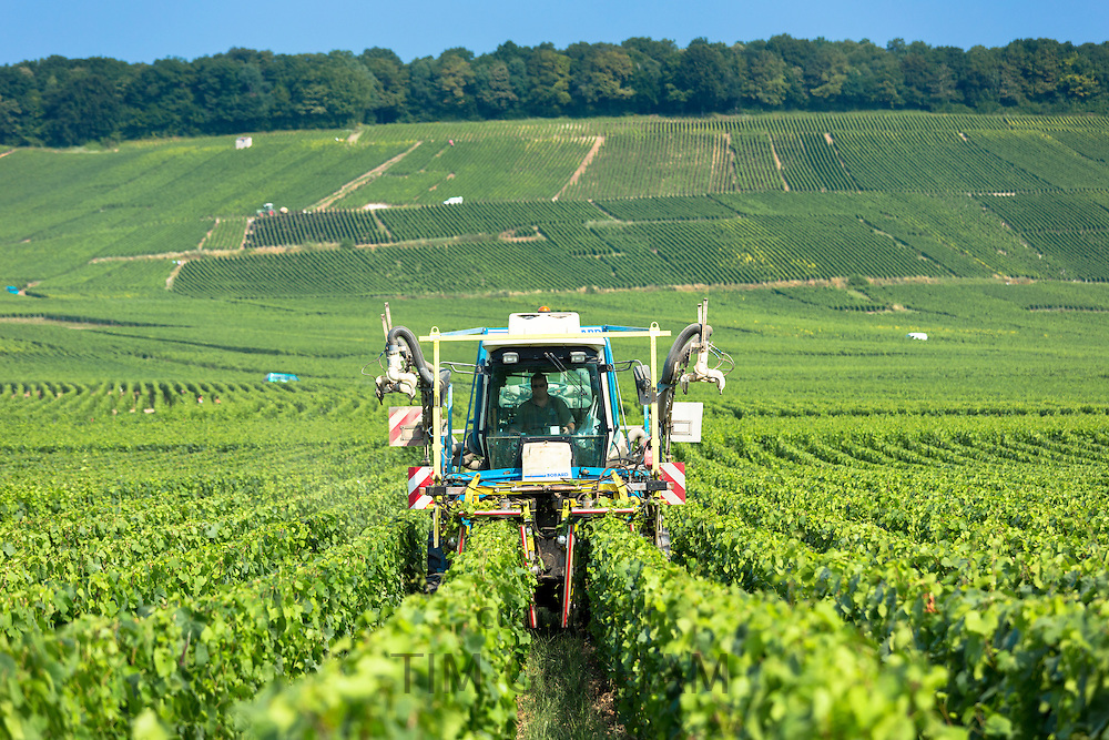 Vine tractor trimming grapevines along the Champagne Tourist Route in Vertus, the Marne Valley, Champagne-Ardenne, France