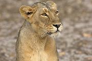 Sasan Gir - Sunday, Jan 07 2007:  A female Asiatic Lion at Gir National Park. (Photo by Peter Horrell / http://www.peterhorrell.com)