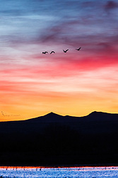 Snow geese in flight at sunrise, Bosque del Apache, National Wildlife Refuge, New Mexico, USA.