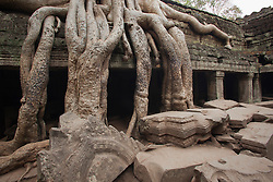 The jungle seems to be winning this battle at Ta Prohm