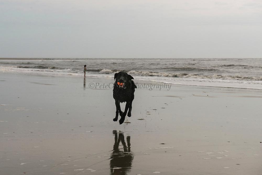 Dog on beach<br /> Little St Simon's Island, Barrier Islands, Georgia<br /> USA