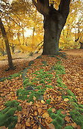 Epping Forest Beeches, UK