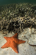 Cushion Sea Star (Oreaster reticulatus)<br /> Ambergris Caye<br /> Belize<br /> Central America
