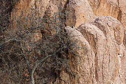 Tree and cliffs along Cuchillo Negro Creek near Sophio Canyon, Ladder Ranch, west of Truth or Consequences, New Mexico, USA.
