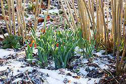 Emerging snowdrops on a frosty morning at Glebe Cottage. Galanthus