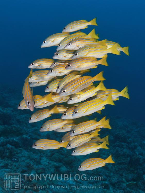 School of bluelined snapper (Lutjanus kasmira) at Blue Corner dive site in Palau