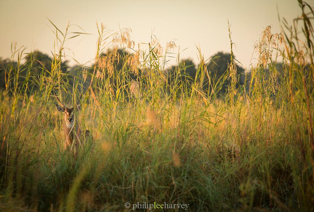 Waterbuck in grass in lower Zambezi River, Zambia