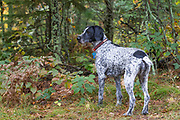 German Wire-haired pointers in Wisconsin