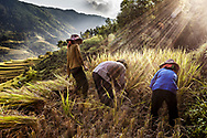 Vietnamese farmer harvesting rice on a paddy field of Hoang Su Phi district, Ha Giang Province, Vietnam, Southeast Asia