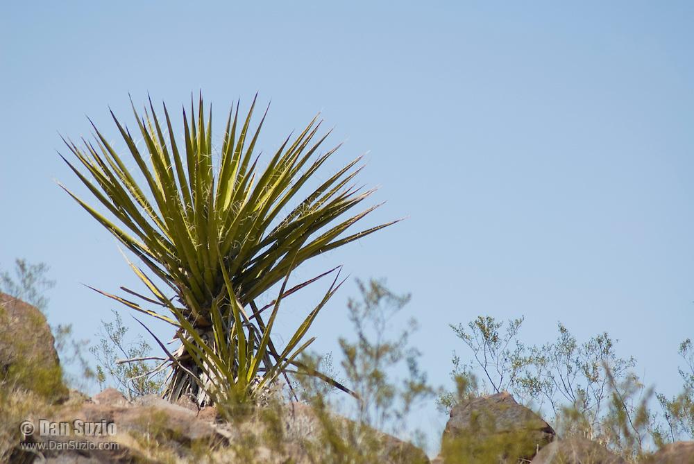 Mojave yucca, Yucca schidigera. Sloan Canyon National Conservation Area, Nevada