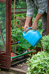 Watering tomatoes growing in growbags in a greenhouse