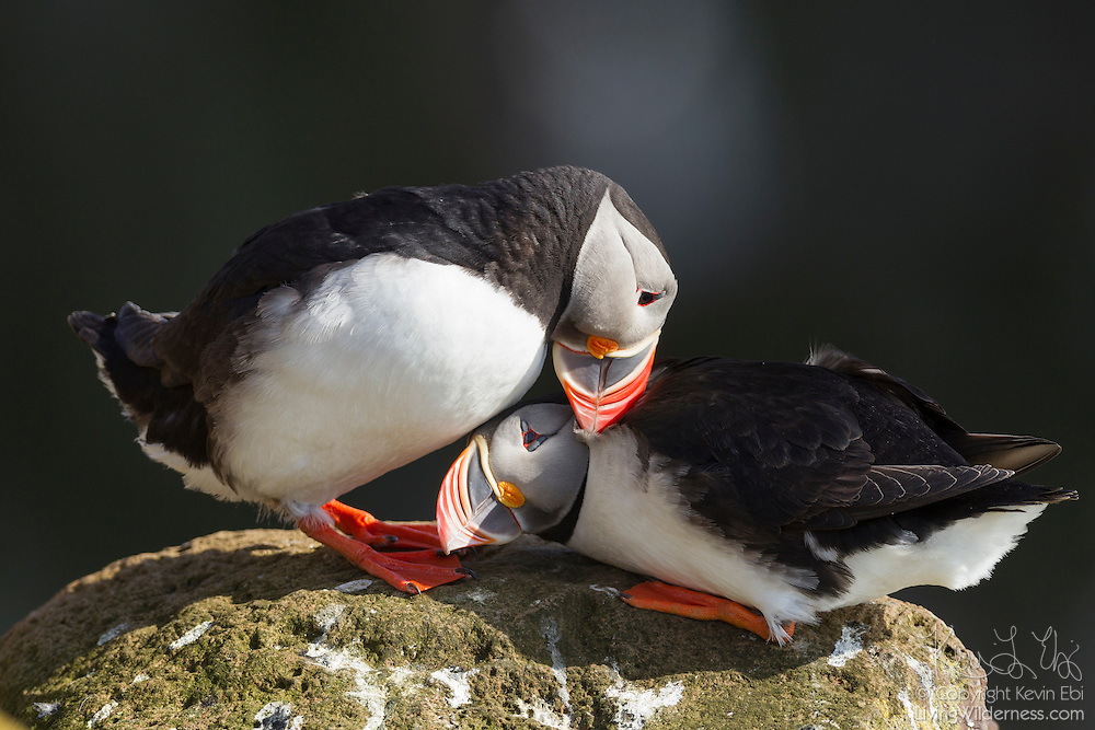 An Atlantic Puffin (Fratercula arctica) rubs its bill on another puffin in Látrabjarg, Iceland. Normally solitary birds, Atlantic Puffins nest each summer in large colonies. A nesting pair rubs their bills together to establish their relationship, a practice known as billing. About 60 percent of the Atlantic Puffins nest in Iceland.