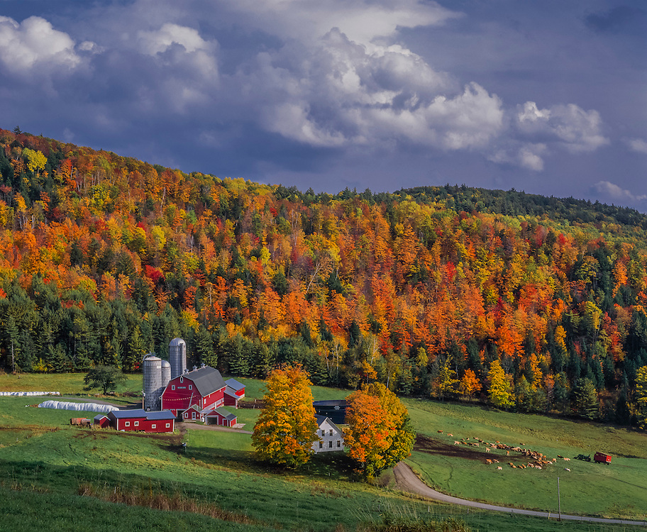 Dairy farm & hillside of fall foliage, red barns and three silos, cattle grazing, Barnet, VT