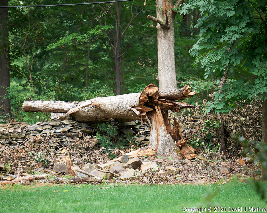 Downed Oak Tree post Tropical Storm Isaias. Image taken with a Leica SL2 camera and 90-280 mm lens