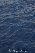 flying fish taking flight, leaving tracks on the water as it propels itself forward using the lower lobe of the caudal fin, Palm Beach, Florida, USA ( western North Atlantic Ocean )