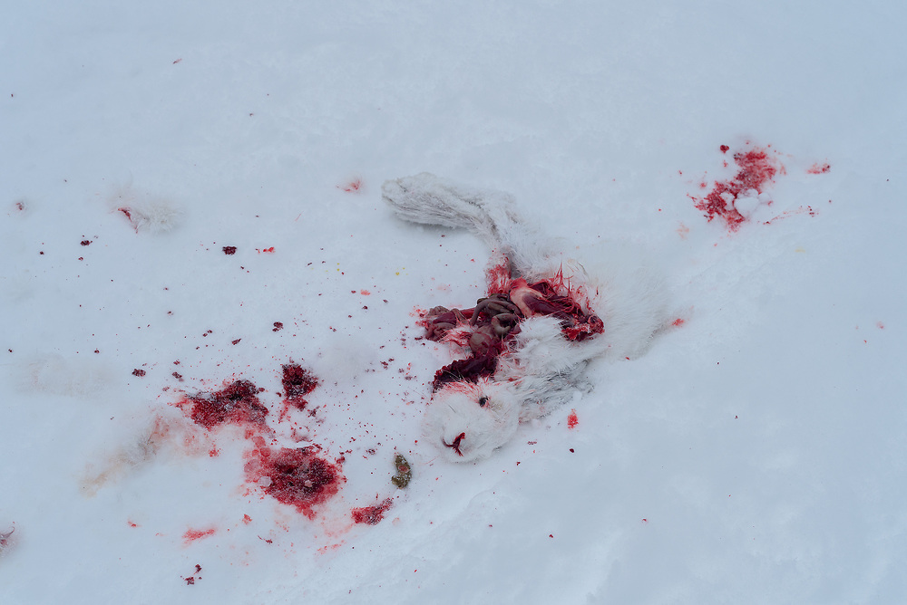 A rabbit killed by a bird of prey