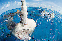 """Playing"" with Lemon Sharks<br /> <br /> Shot in Bahamas"
