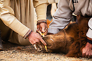At a local camel fair, a competition of speed to see who can insert wooden nose pegs in the nose of a wild Bactrian camel, Gobi Desert, Mongolia