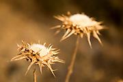 Dry Milk Thistle (Silybum marianum)