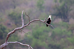 African Fish eagle resting on tree branch, South Africa