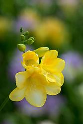 Freesia x kewensis 'Yellow'